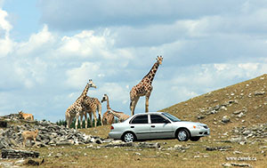 Can giraffe drive a car?